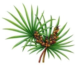 Serenoa repens Sabal Palm Saw Palmetto